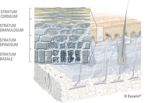 ภาพแสดงบนสุดของผิวหนัง (Horny layer)